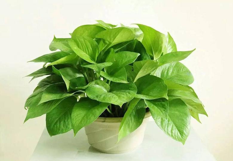 除甲醛植物-绿萝