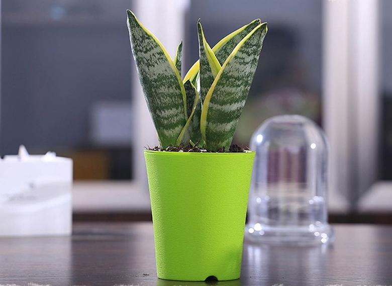 除甲醛植物-虎皮兰