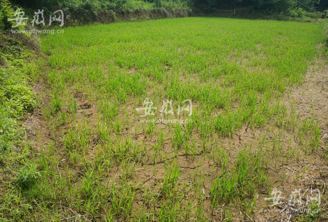 这片秧田因为抽用了有毒的水,也枯死不少。