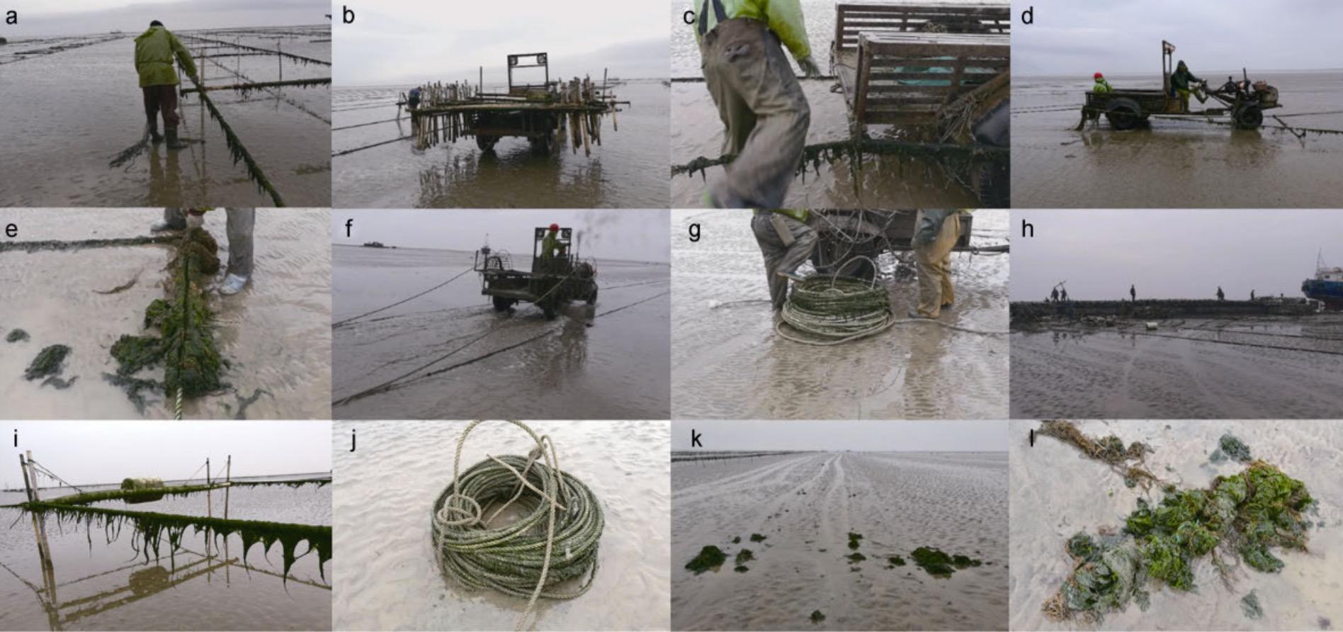 收筏架作业过程和收筏架作业前后绠绳上附生绿藻 来源:张清春等人《苏北浅滩养殖筏架附生绿藻入海过程在黄海绿潮形成中的作用》