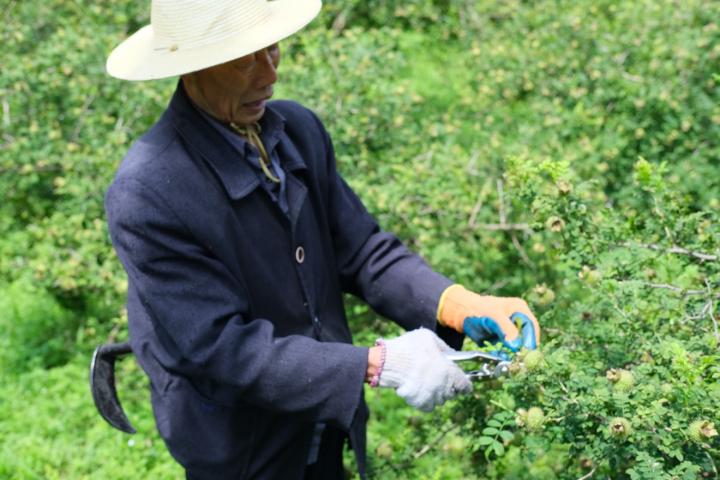 村民唐召良正在给刺梨修剪多余的枝叶