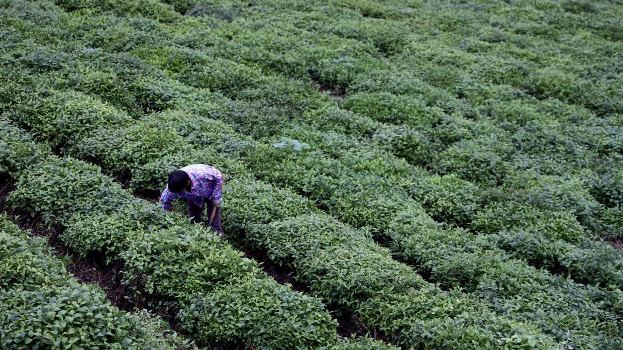 茶农在茶田里除草劳作。 吴雨晴 摄