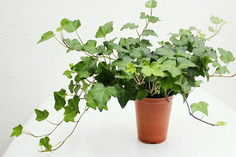 除甲醛植物-常青藤