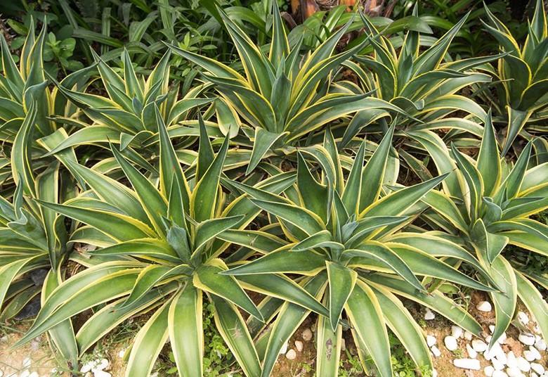 除甲醛植物-龙舌兰