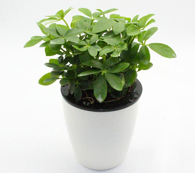 除甲醛植物-鸭脚木